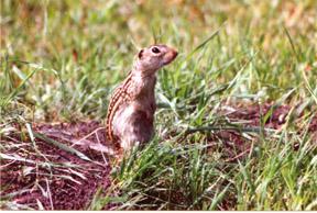 13linedgroundsquirrel.jpg
