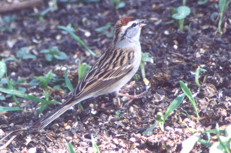 chippingsparrow.jpg