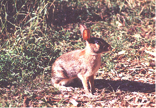 easterncottontail.jpg