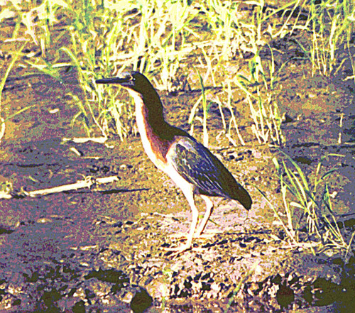 greenheron2.jpg