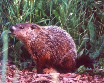 groundhog72.jpg