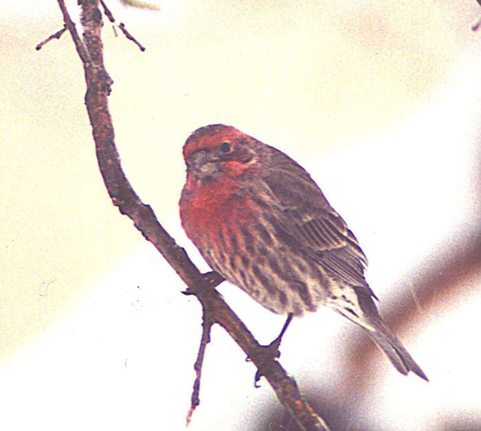 housefinch.jpg