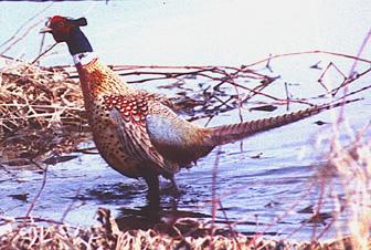 pheasant72.jpg