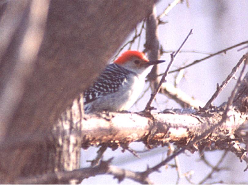 redbelliedwoodpecker1.jpg