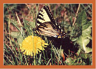 tigerswallowtailcopy.jpg